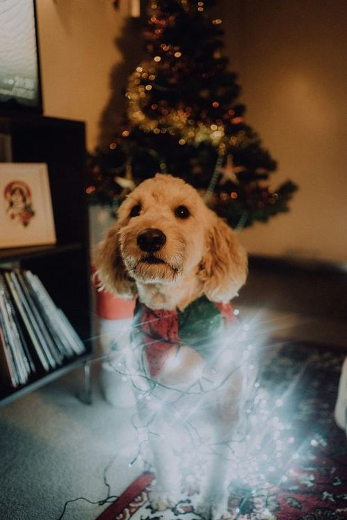 How to decorate your Christmas tree, Dog Christmas lights